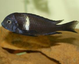 Duboisi Cichlid (Tropheus Duboisi)