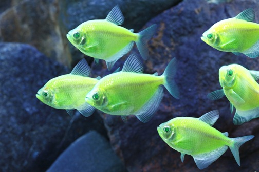 Tetras Can Help You Make Groups Of Moving Colors In Your Aquarium