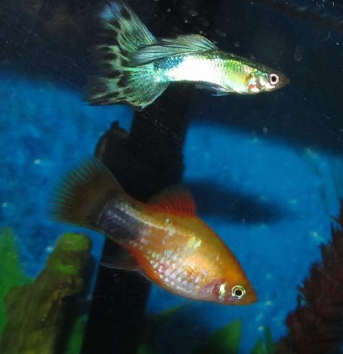 Livebearer+Breeding+Box Pin Guppies Breeding Cycle on Pinterest