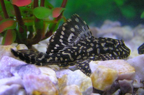 Plecos for Big freshwater aquarium fish