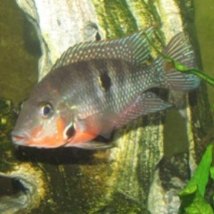 how to tell sex african cichlids
